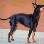 Toy Terrier negru cu pete de foc