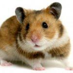 Hamsterul auriu sirian