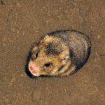 Hamsterul românesc
