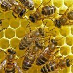 Procurarea familiilor de albine