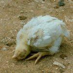 Pseudopesta aviară