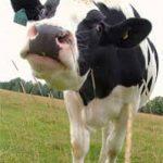 Vacile si cutremurele